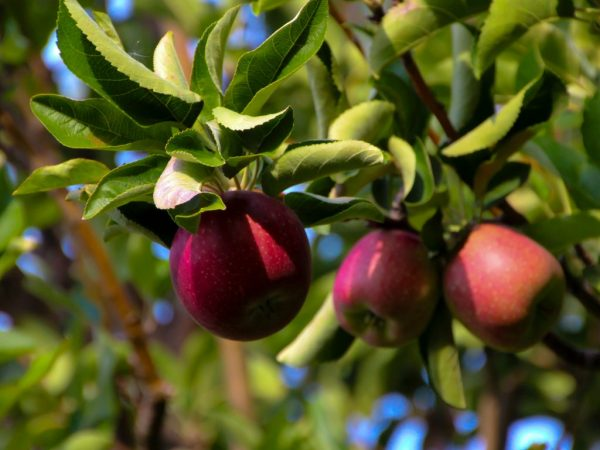 Яблони садят в любых регионах