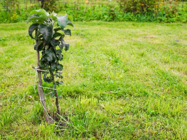 Яблоня успешно растет даже при суровом климате