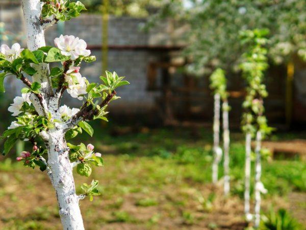 Молодым деревьям нужен регулярный полив