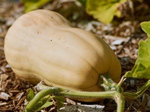 Плоды сорта Жемчужина отличаются крупным размером