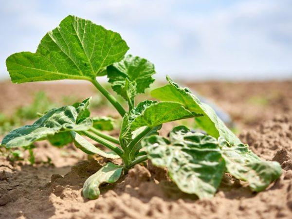 Ухаживать за растением легко