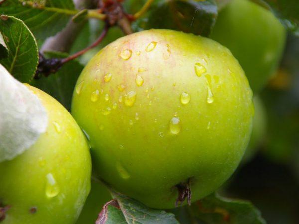 Плоды можно хранить в свежем виде до полугода
