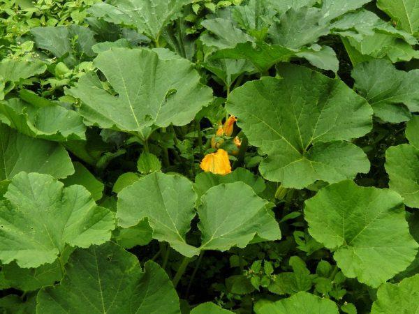 Поливать растение следует строго под корень