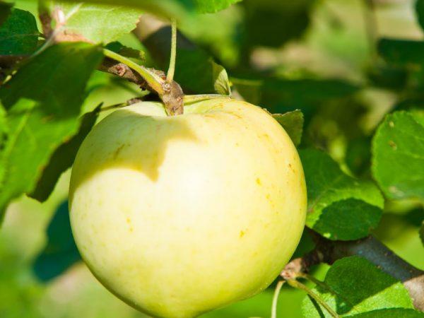 Колоновидная яблоня сорта Медок