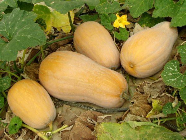 Сорт тыквы мускатная Жемчужина