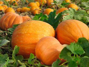 Правила выращивания тыквы на Урале