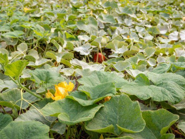 Регулярно осматривайте растение на наличие признаков заболеваний