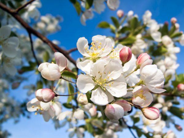 Яблоне необходимы опылители