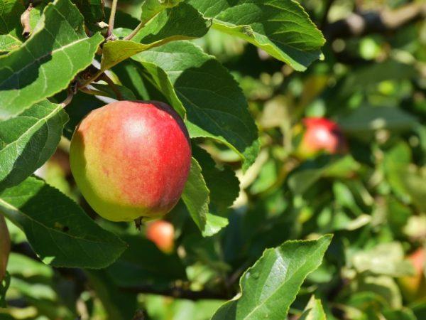 Перед сбором плодов дерево необходимо обработать
