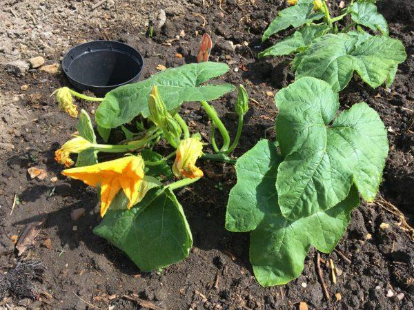 Поливать растения нужно под корень