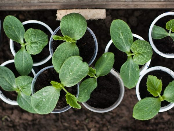 Выращивание кабачков рассадным методом
