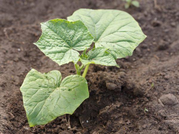 Рассаду выращивают дома