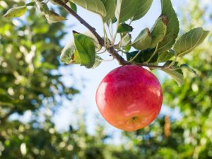 Выращивание яблони Рождественское