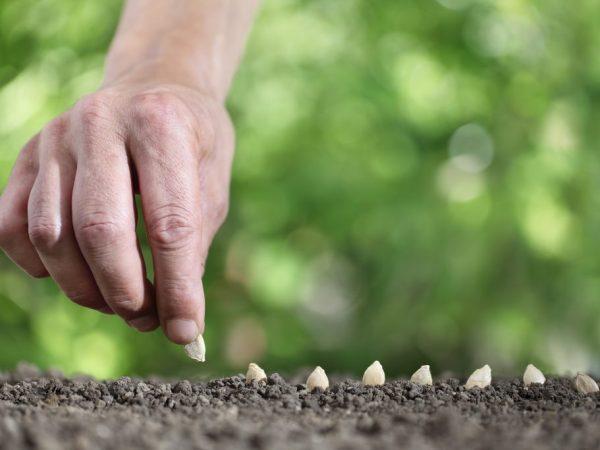 Семена сеют в прогретую почву