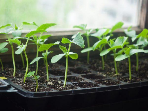 При рассадном методе урожай можно получить быстрее