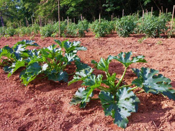 Пониженная температура замедляет развитие растений