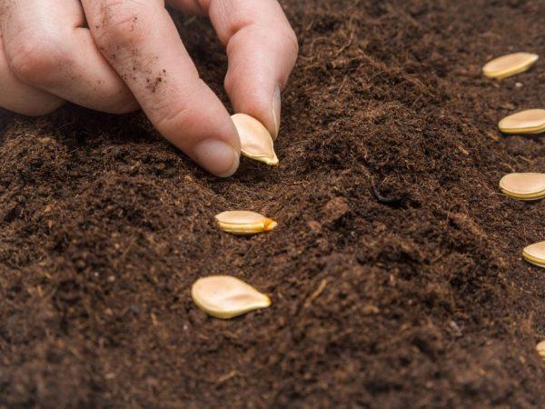 Высаживайте семена на глубину не более 2 см