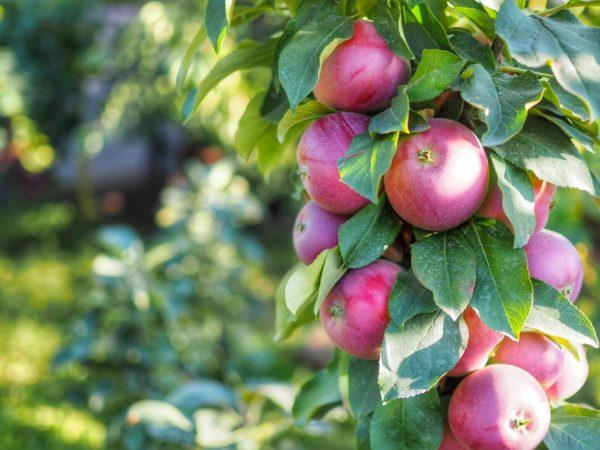 Плоды не подлежат долгому хранению