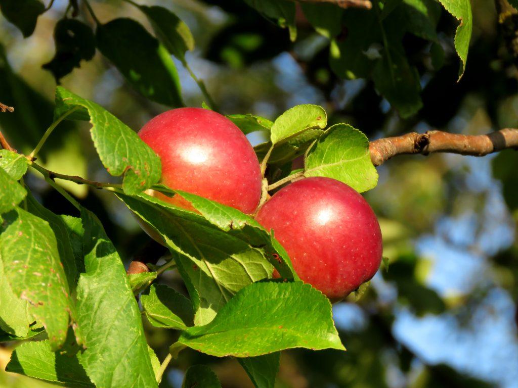 Сорт колоновидной яблони Арбат