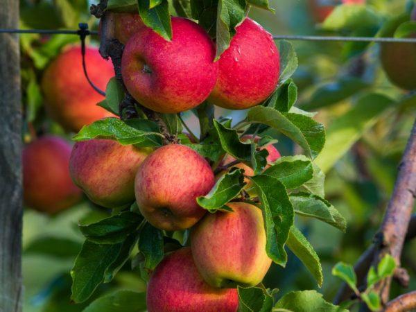 Выращивание яблони Бельфлер