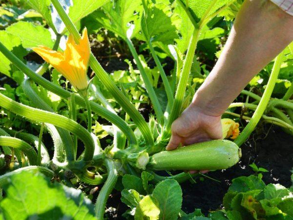 Сорт Ролик отличается стабильной урожайностью