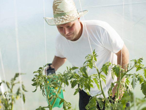 Обрабатывать необходимо все больные части растений
