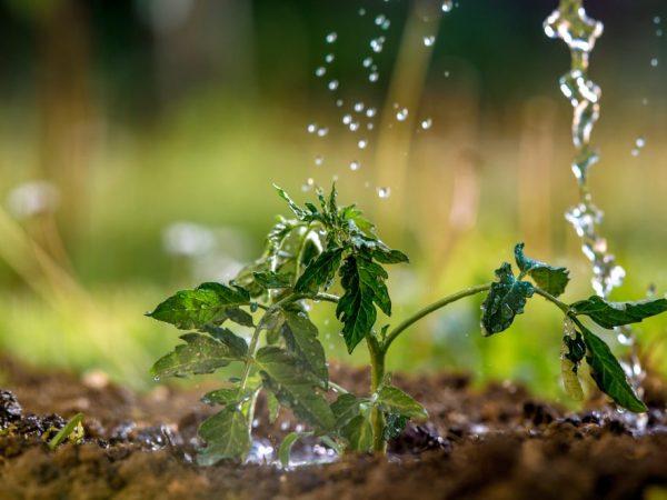Рассаду необходимо поливать теплой водой