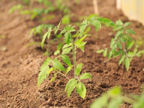 Растения необходимо регулярно поливать
