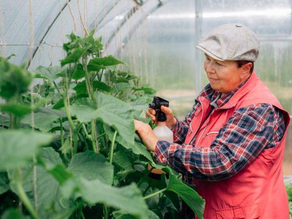 Опрыскивание защитит растения от болезней
