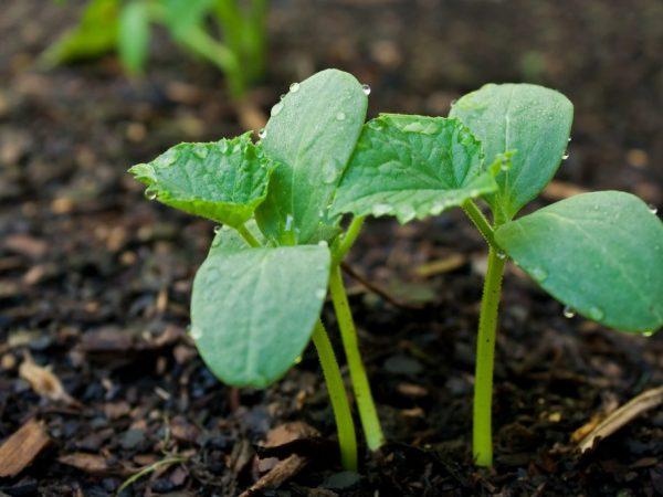 На рост растений влияет температура