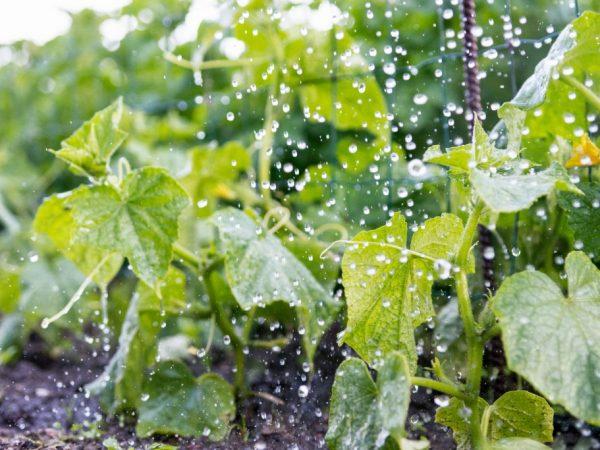 Поливать растения необходимо утром или вечером
