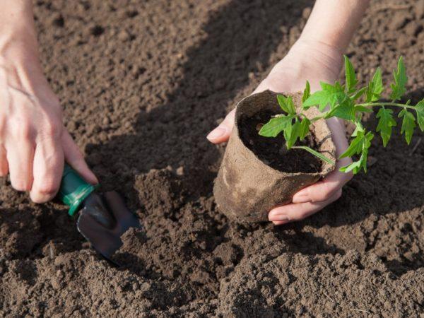 Для рассады выбирайте плодородную почву