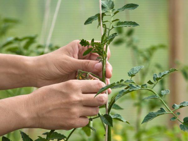 После подвязывания растения следует полить
