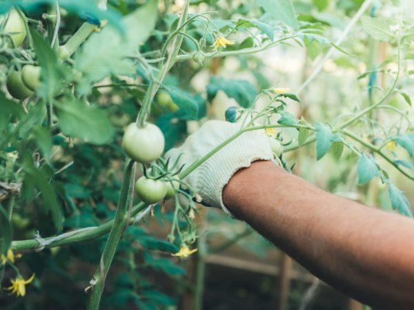 Подвязывание помидоров в теплице из поликарбоната