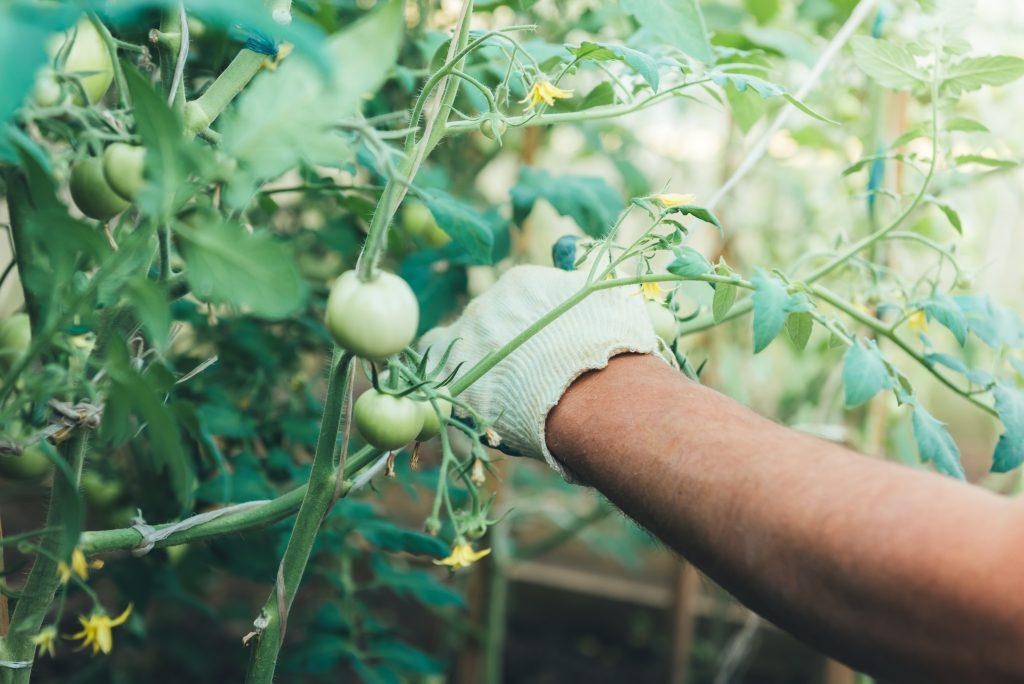 Как подвязывать помидоры в открытом грунте и теплице правильно: способы с фото