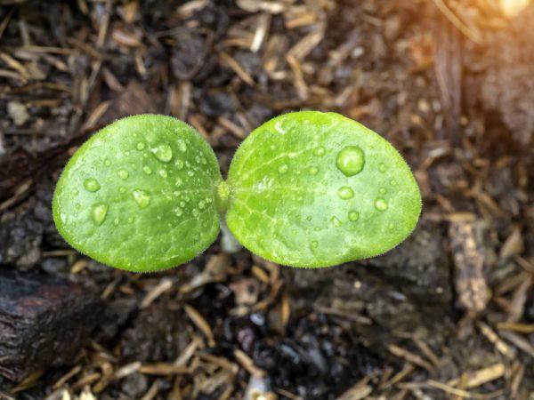 Поддержание влажности является главным условием выращивания в опилках