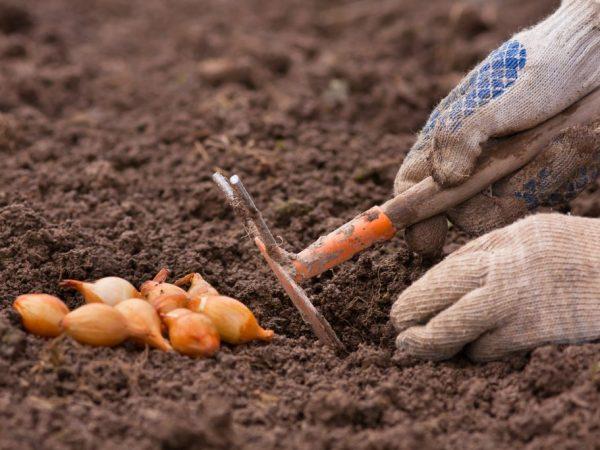 Садим неглубоко в землю