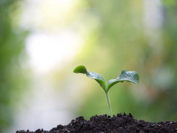 При посадке в открытый грунт сокращается срок созревания плодов