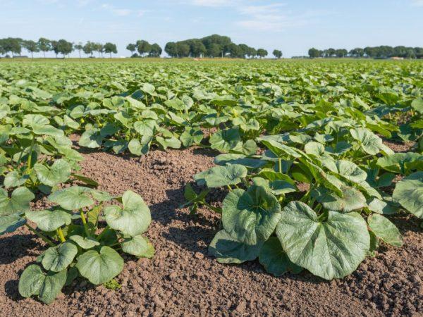Для выращивания тыкв подходит любая почва