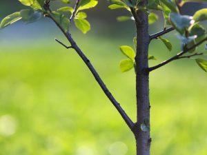 Выращивание яблони Лобо