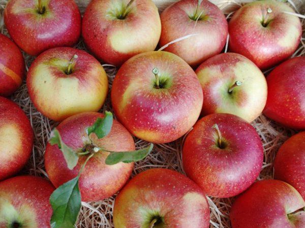 Неприхотливые зимние яблоки