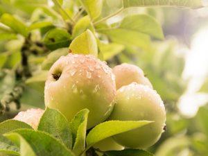 Выращивание яблони Орлинка