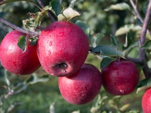 Выращивание яблони память Ульянищева