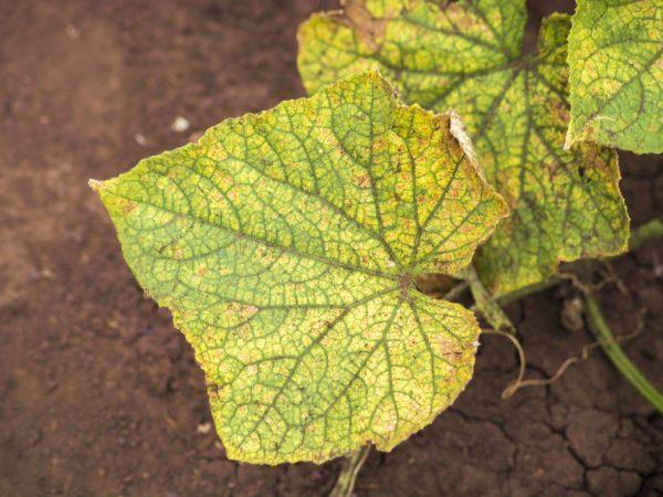 Лечить растения нужно при первых признаках заболевания