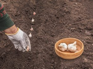 Сроки посадки чеснока в 2019 году