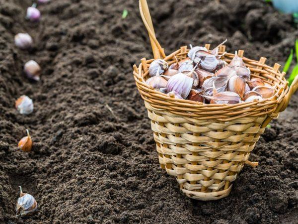 Чеснок сажают в подкормленную почву