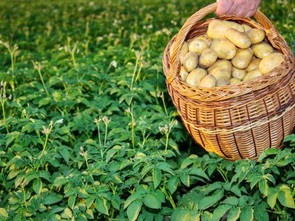 Правила посадки картофеля в 2019 году
