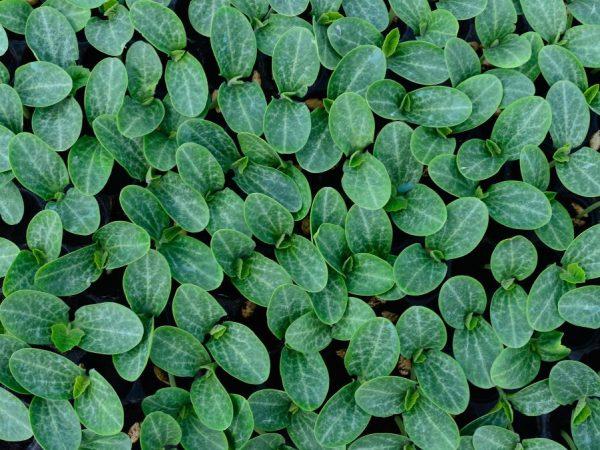 Выращивание тыквы рассадным методом