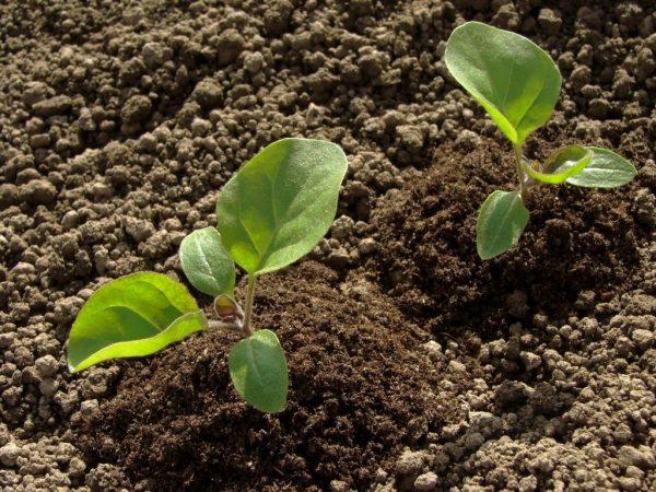 Поливать рассаду нужно строго под корень