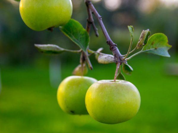 Плоды в свежем виде хранятся всю зиму